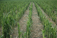 The Austin Company - hail damage to corn